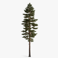 scotch fir 3d model