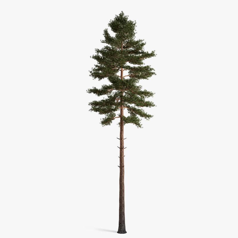 3d scotch fir
