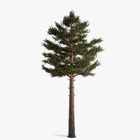 scots pine 07