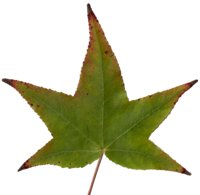 3 American Sweetgum Leaves