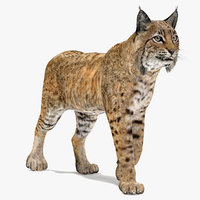 Bobcat Animated