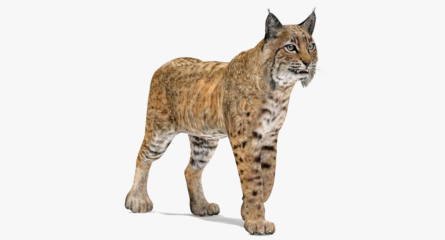 3d model bobcat rigging animation cat