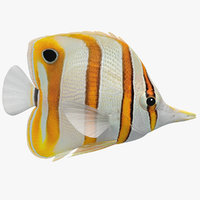 Copperband Butterflyfish (Animated)