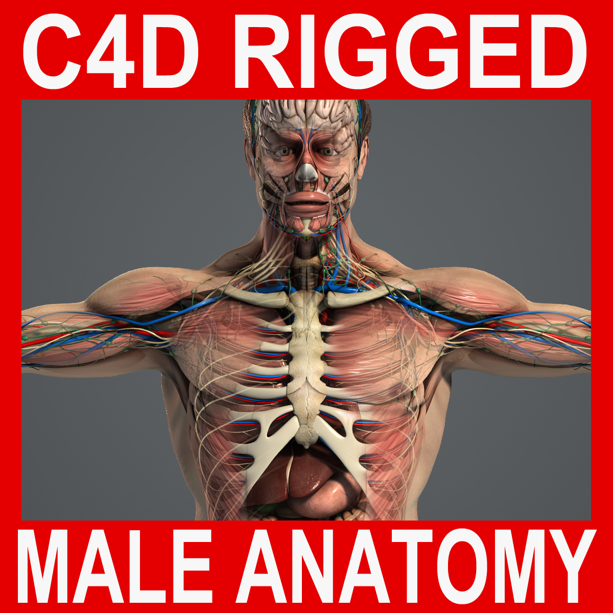 rigged complete male anatomy 3d c4d