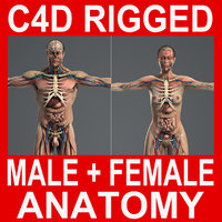 rigged male female anatomy c4d