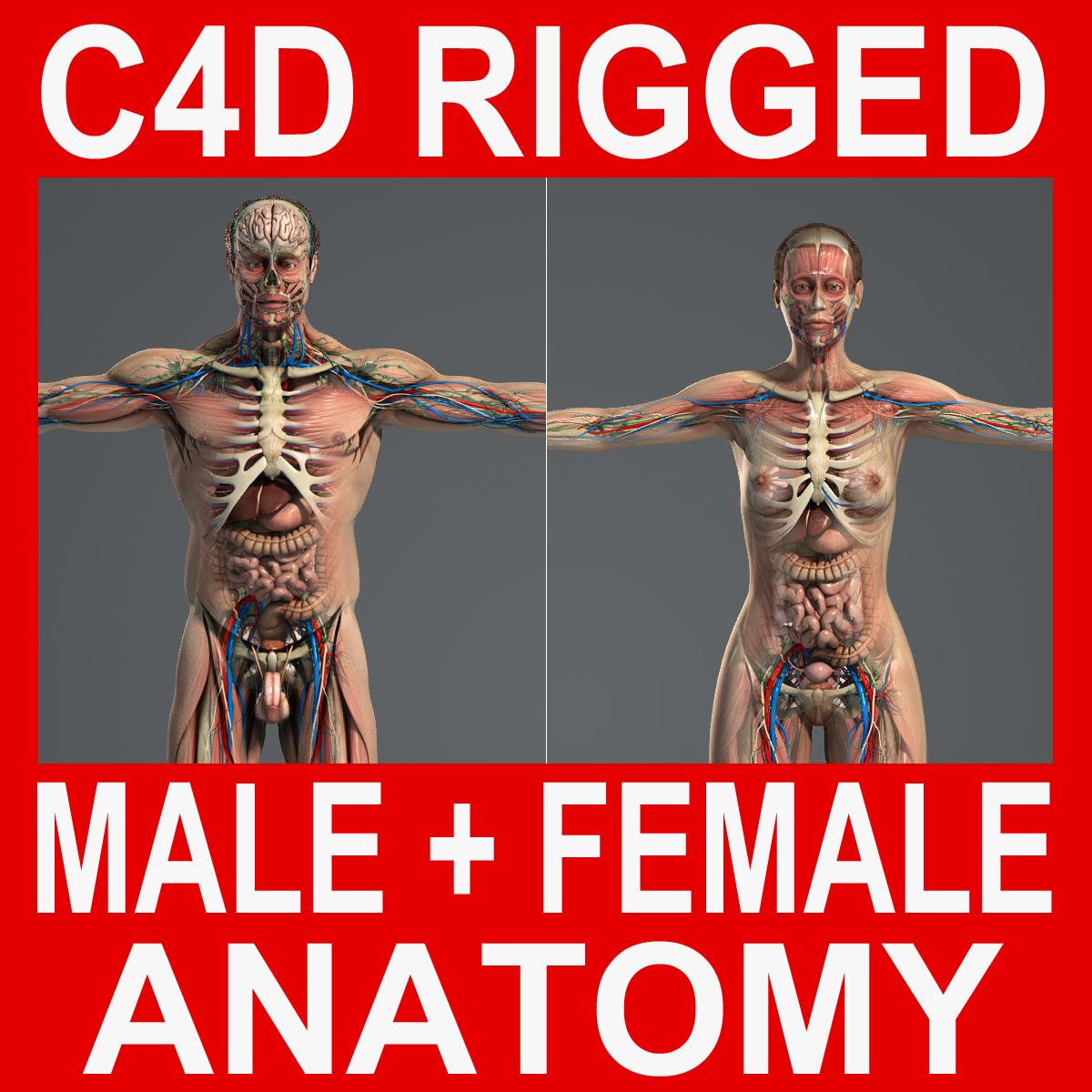rigged male female anatomy c4d