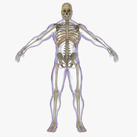 3d x-ray skeleton rigged realistic male model