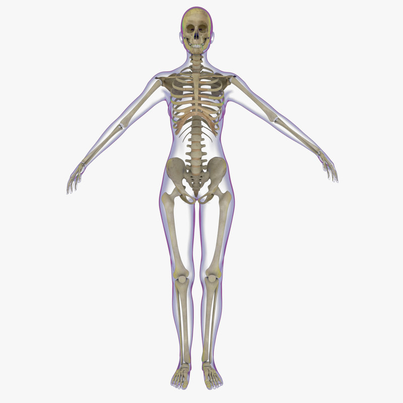 3d x-ray skeleton female rigged