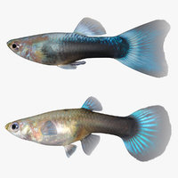 Male and Female Guppy