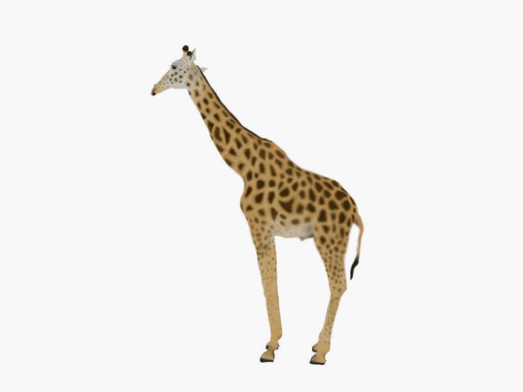 giraffe rothschild s - 3D model