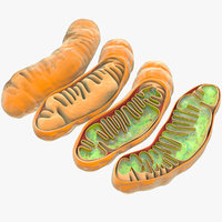 mitochondria dna ribosomes model