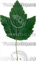Leaf Currant 01