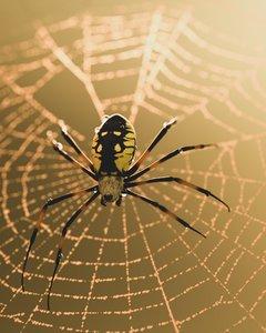 black yellow garden spider 3D