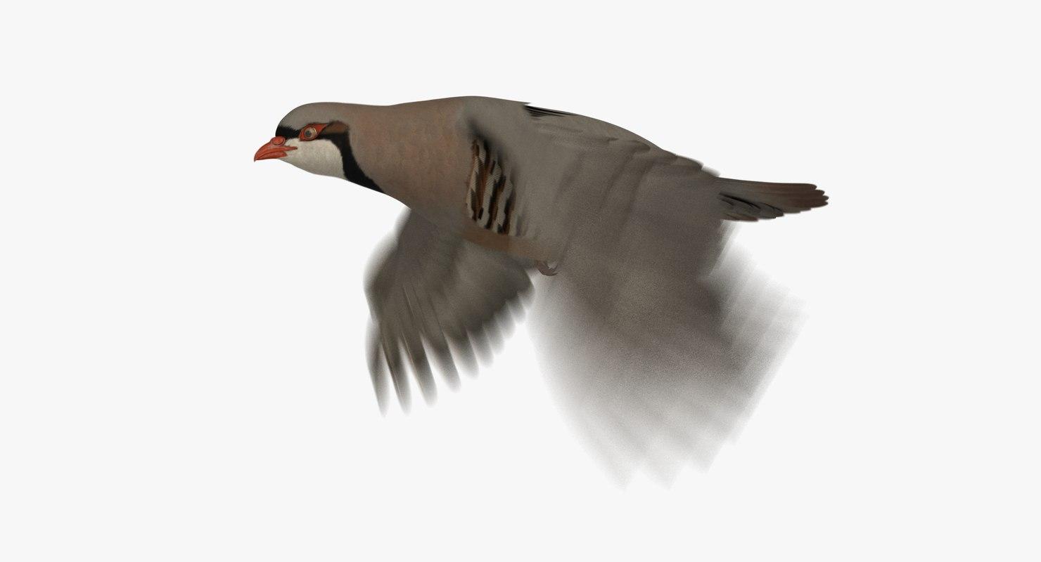 3D chukar partridge animation model
