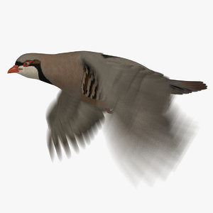 3D chukar partridge animation model