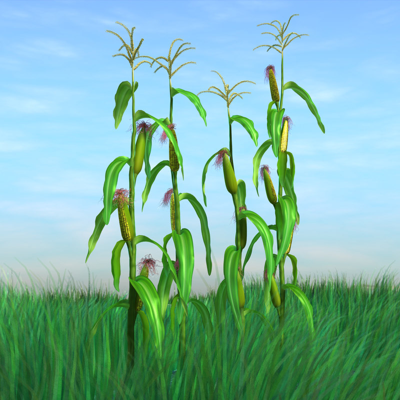 corn 3d model