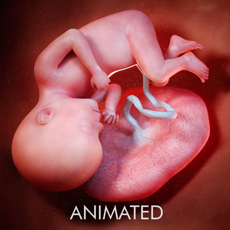 fetus week 27 3D model