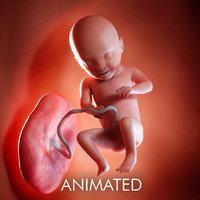 fetus week 31 3D model