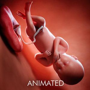 fetus week 36 model