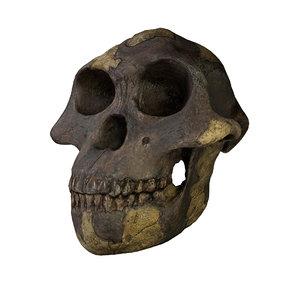 3D skull australopithecus model