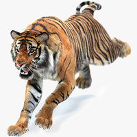 Sumatran Tiger Animated (Fur)