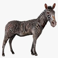Burchells zebra (Animated) Museum Specimen