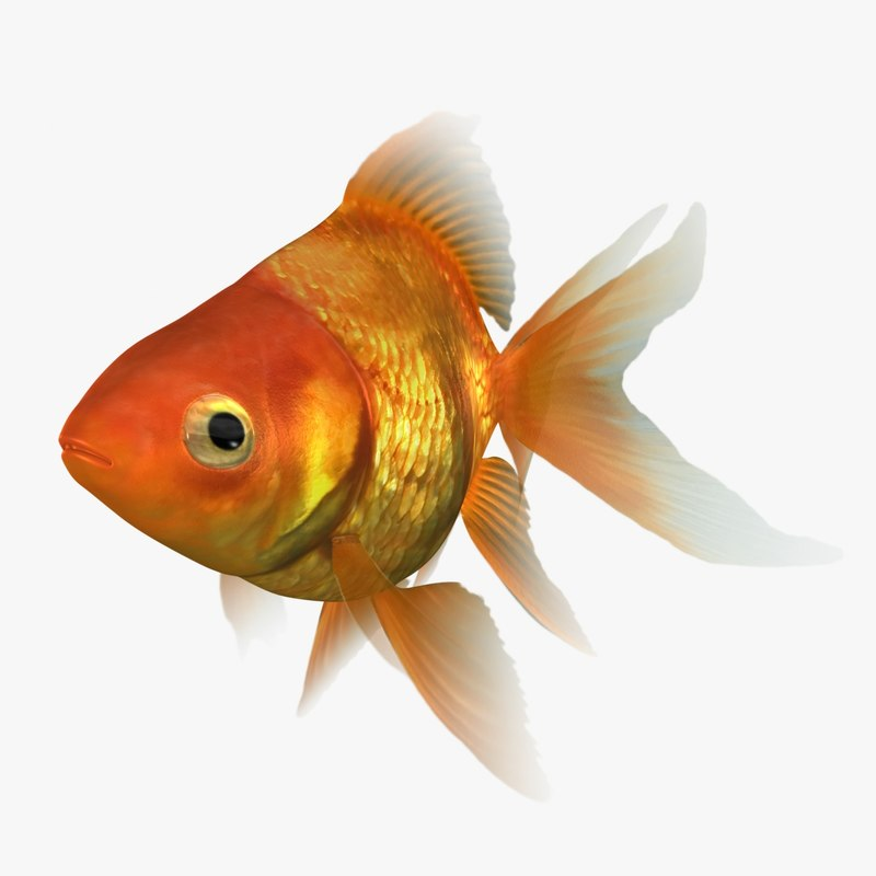 3D ryukin goldfish rigged scanline model