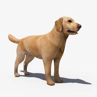 dog labrador max