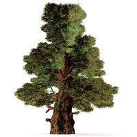 3D western juniper model