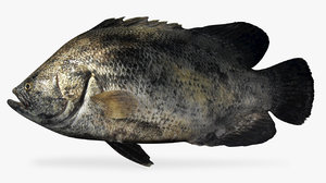 atlantic tripletail 3D model