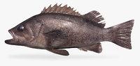 Black Rockfish - Sebastes melanops