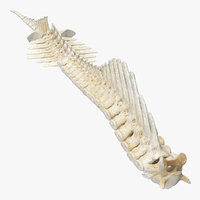 animal spine vertebrae bones 3D model