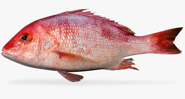 american red snapper 3D model
