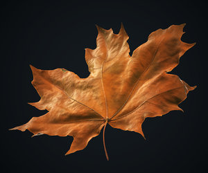 3D autumn maple leaf 1 model