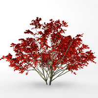 fall kousa dogwood 3D model