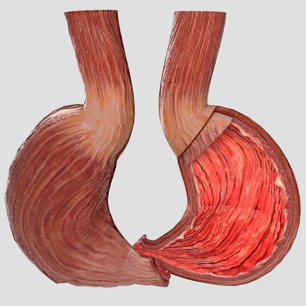 gastric anatomy layers 3D model