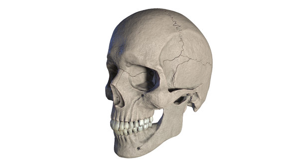 3D anatomically correct human skull model