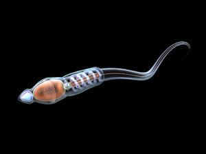 3D male sperm cell animations