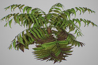 alsophila fern old 3D model