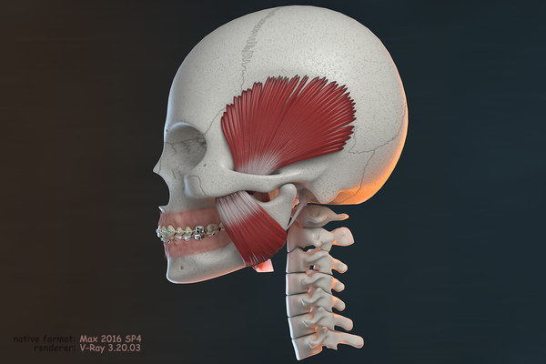 ortho skull v-ray orthodontics model