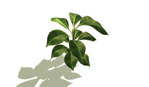 3d model of rubber plant