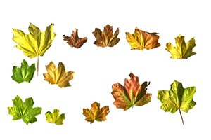 3D autumn leaves scan pack