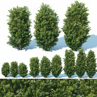 Taxus Baccata # 7 Three sizes 65-130 cm