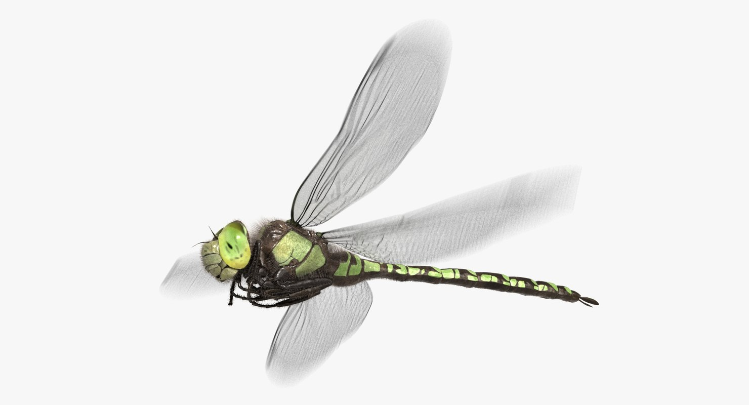 dragonfly southern hawker animation flying 3D