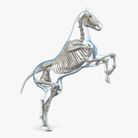 3D rearing horse envelope skeleton model