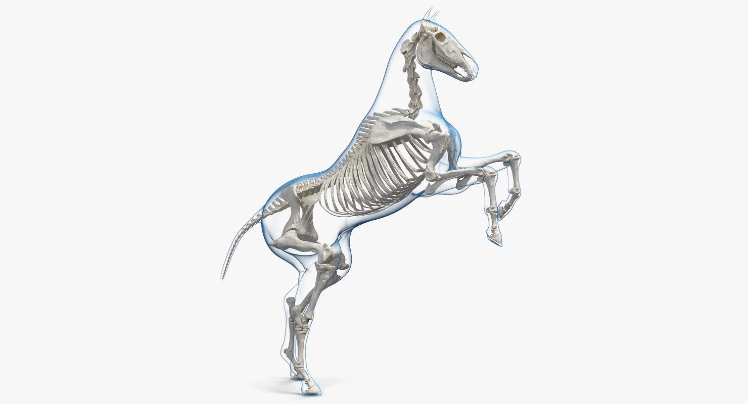 3d Rearing Horse Envelope Skeleton Model Turbosquid 1341395