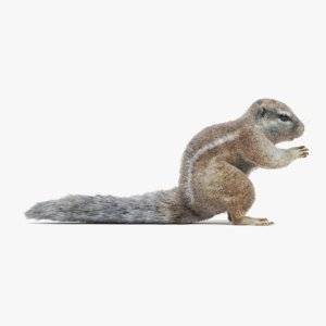 3D model cape squirrel