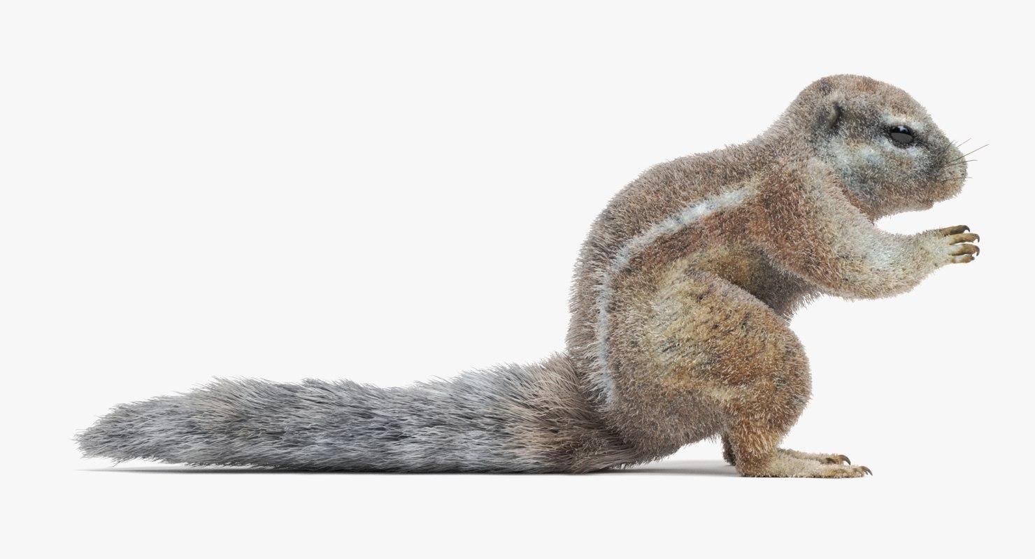 3D model cape squirrel