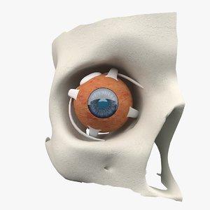 skull eyeball model