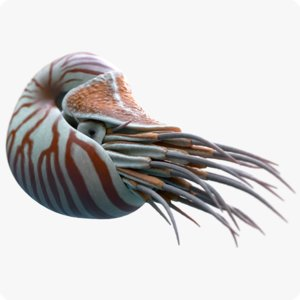 3D nautilus belauensis